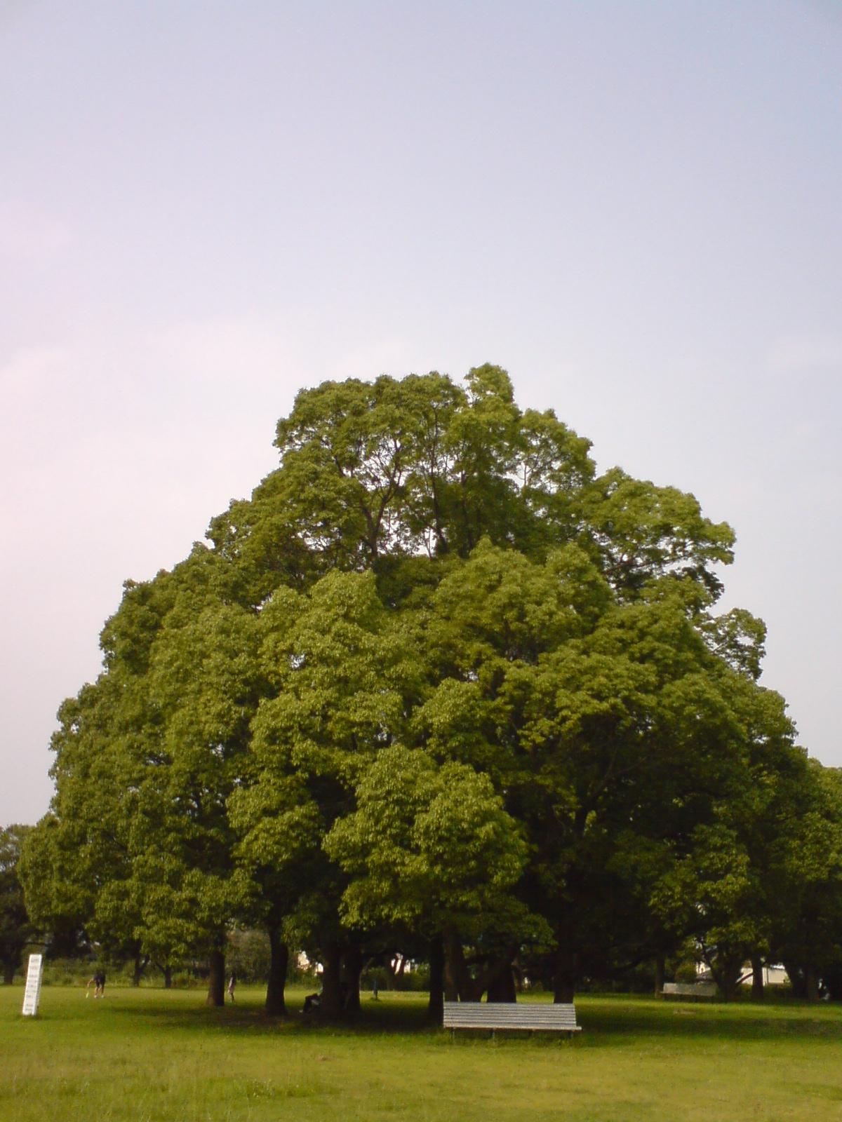 Ohnaka_tree6